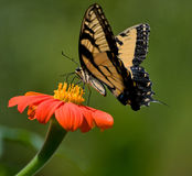 Butterfly on daisy Stock Photography