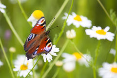 Butterfly in daisy field Royalty Free Stock Images