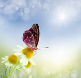 Butterfly and daisy field Royalty Free Stock Photos