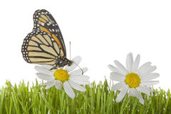 Butterfly on Daisy flower Stock Photo
