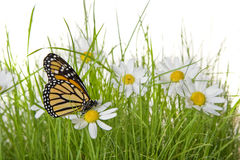 Butterfly on Daisy flower. A monarch butterfly on white and yellow daisies on a lawn with a white background stock photography