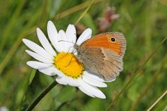 Butterfly on a daisy (hyponephele lycaon) Royalty Free Stock Photography