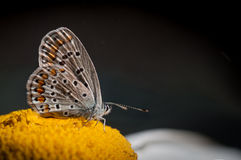 Butterfly on a Daisy Royalty Free Stock Photography