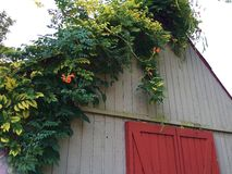 Old Barn with Vine Stock Photo