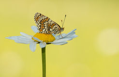 Butterfly on a daisy Royalty Free Stock Photos