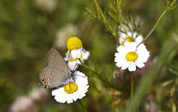 Butterfly On A Daisy (Satyrium acaciae) Royalty Free Stock Photography