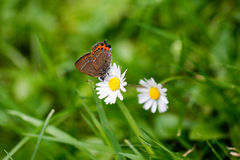 Butterfly and daisy. Butterfly sitting on a daisy in the gras Stock Photography
