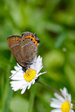 Butterfly and daisy. Butterfly sitting on a daisy in the gras Stock Image