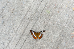 Butterfly with damaged wing. ( Moduza Procris Royalty Free Stock Photography