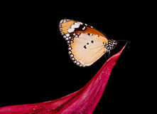 Butterfly Danaus Chrysippus Royalty Free Stock Photography