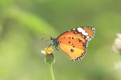 Butterfly; Danaus genutia. The butterfly in the field Stock Images