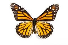 Butterfly Danaus Plexippus isolated Royalty Free Stock Photos