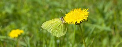 Butterfly on dandelion Stock Image