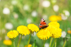 Butterfly on dandelion Stock Images