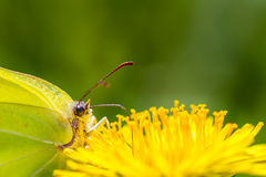 Butterfly on dandelion. Close-up of a greenish butterfly feeding on dandelion Stock Photo