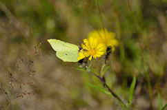 Butterfly on dandelion. Light green butterfly sitting on a dandelion stock photography