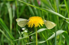 Butterfly and dandelion. Macro close up of a yellow cabage butterfly feasting on pollen from dandelion flower Royalty Free Stock Photo