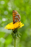 Butterfly and dandelion Royalty Free Stock Photo