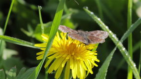 Butterfly on dandelion stock video footage