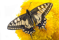Butterfly on dandelions Stock Photography