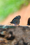 Butterfly Dark blue tiger. Stock Photos