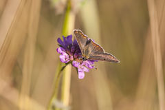 Butterfly with dark brownish wings on a flower blossom Royalty Free Stock Image