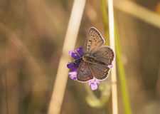 Butterfly with dark brownish wings on a flower blossom Stock Photo