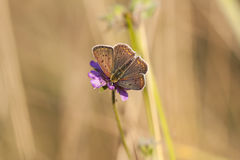 Butterfly with dark brownish wings on a flower blossom Stock Images