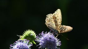 Butterfly Dark Green Fritillary (Argynnis aglaja) is on a flower in backlit stock video