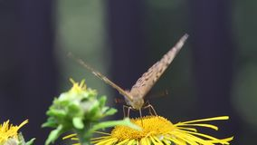 Butterfly Dark Green Fritillary (Argynnis aglaja) stock video