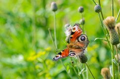 Butterfly day peacock. With widely spread wings Royalty Free Stock Image