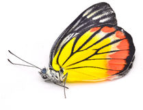 Butterfly. Dead on white background Royalty Free Stock Images
