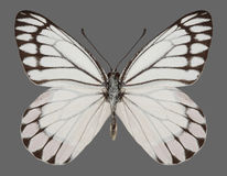 Butterfly Delias eucharis Common Jezebel Royalty Free Stock Images