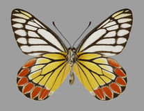 Butterfly Delias eucharis Common Jezebel underside Royalty Free Stock Photography