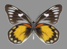 Butterfly Delias zebuda male underside Royalty Free Stock Photography