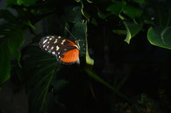 Butterfly. Delicate orange butterfly resting on a leaf stock photography