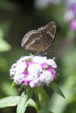 Butterfly. Delicate butterfly sipping nectar from a pink and white flower Royalty Free Stock Images