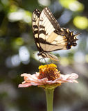 Butterfly. Delicate yellow butterfly sipping nectar from a pink and yellow flower Royalty Free Stock Images