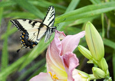 Butterfly. Delicate yellow butterfly sipping nectar from a pink and yellow flower Stock Image
