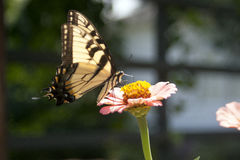 Butterfly. Delicate yellow butterfly sipping nectar from a pink and yellow flower Stock Photography