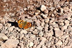 Butterfly in the desert of death valley in California, USA Stock Photography
