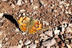 Butterfly in the desert of death valley in California, USA Stock Photo