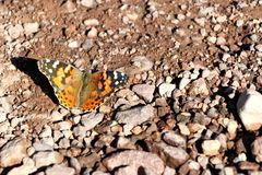 Butterfly in the desert of death valley in California, USA Stock Image