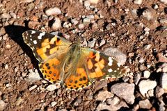 Butterfly in the desert of death valley in California, USA Royalty Free Stock Image