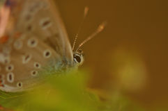 Butterfly detail. Macro detail of Large Blue Butterfly royalty free stock photography