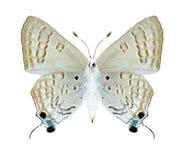 Butterfly Deudorix livia (female) (underside) Royalty Free Stock Images