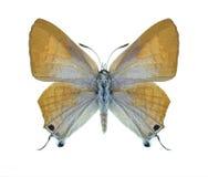 Butterfly Deudorix livia (female) Stock Photos