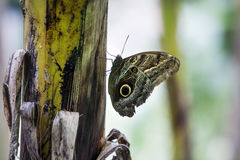 Butterfly in disguise. With owl eyes under wing Stock Photo