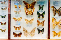 Butterfly display in Natural History Museum. Butterflies in glass case with scientific classification in Natural History Museum Stock Photos