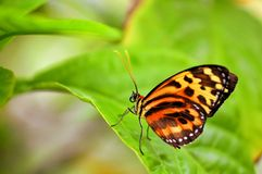 Butterfly, Disturbed Tigerwing Royalty Free Stock Photos